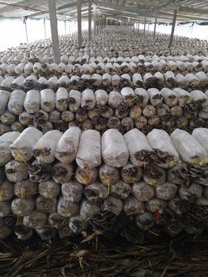 山东枣庄台儿庄区灰平菇 3-5cm 厚 浅灰色