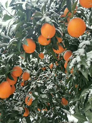 这是一张关于秭归脐橙 60 - 65mm 4-8两的产品图片