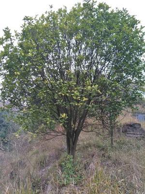 这是一张关于香泡树的产品图片