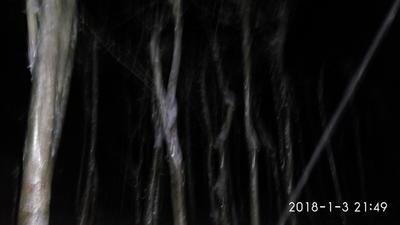 湖北荆门京山县对节白蜡 1~1.5米