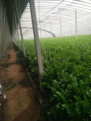 山东省潍坊市安丘市美国文图拉芹菜 60cm以上 大棚种植 1.5~2.0斤
