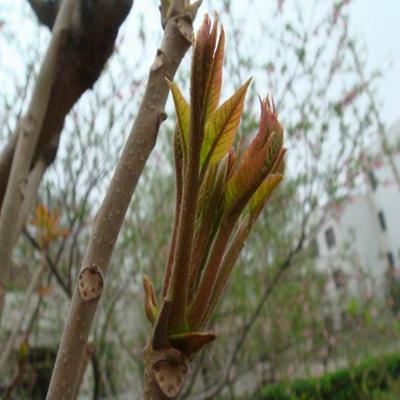 山东泰安岱岳区矮化香椿苗 2公分以下