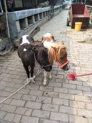 山东济宁汶上县德宝矮马 200-400斤