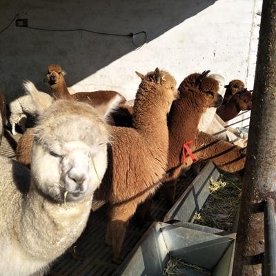 山东济宁汶上县秘鲁羊驼
