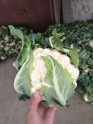 湖北天门天门东方白雪菜花 紧密 2~3斤 乳白