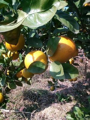 这是一张关于黄金柑 6 - 6.5cm 4两以上的产品图片