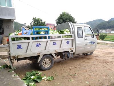福建省福州市晋安区夏阳白菜 1~2斤 毛菜