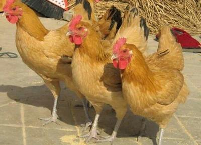 这是一张关于出售各种鸡苗的产品图片
