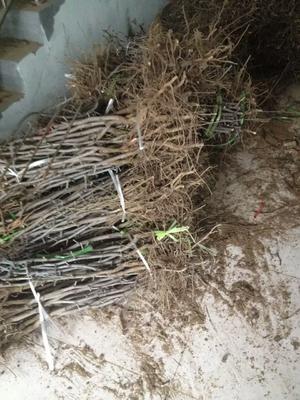 这是一张关于冬枣树苗的产品图片