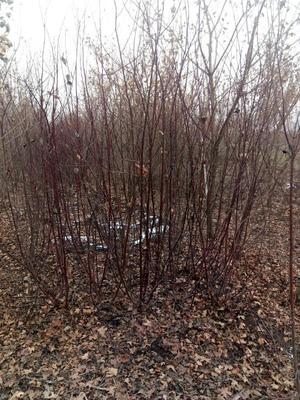 河南安阳龙安区丛生红瑞木