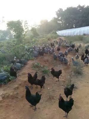 江西宜春高安市灰色珍珠鸡 2-4斤