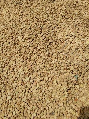 这是一张关于甘肃优质蚕豆的产品图片
