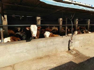 这是一张关于肉牛 1000斤以上 公牛的产品图片