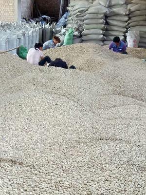 这是一张关于甘肃优质蚕豆 的产品图片