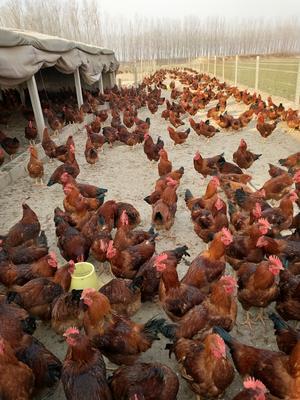 这是一张关于红玉公鸡 公 6月以下 7-8斤的产品图片