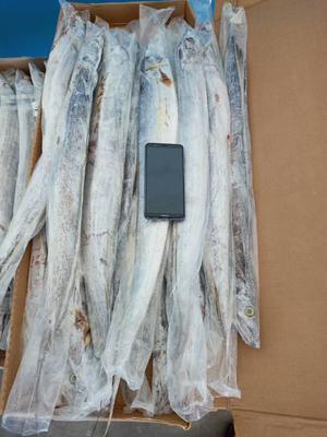 山东滨州沾化区舟山带鱼 野生 1-1.5公斤