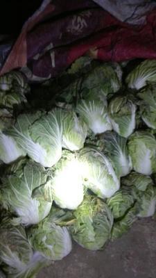 河南省南阳市新野县北京三号大白菜 6~10斤 净菜