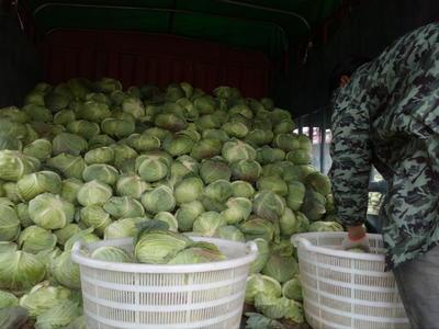 湖北省荆门市钟祥市扁球甘蓝 3.5~4.0斤