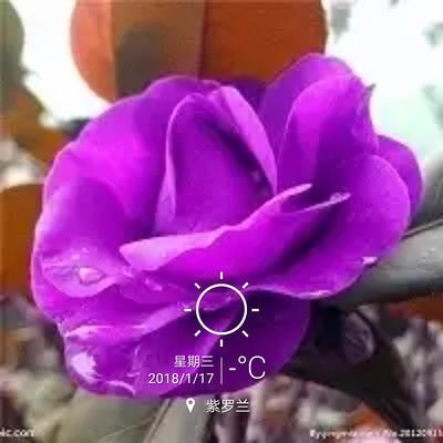贵州毕节织金县红露珍 80~100cm
