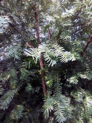 四川成都彭州市云南红豆杉 3~3.5米