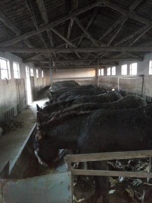 这是一张关于改良肉驴 400-500斤的产品图片