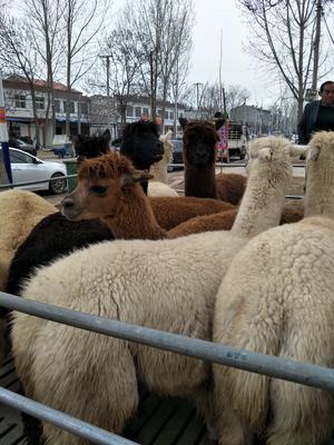 山东济宁汶上县非洲羊驼
