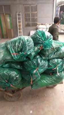 这是一张关于小叶香菜 30~35cm的产品图片