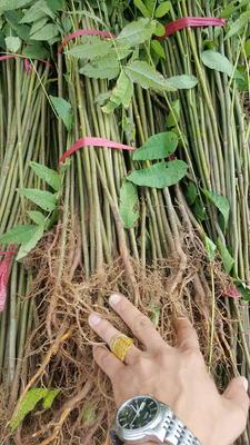 山东泰安岱岳区红油香椿苗 2公分以下