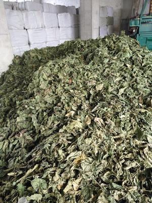 这是一张关于桑叶的产品图片