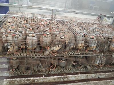 山东省菏泽市单县鹧鸪 0.7-0.8斤