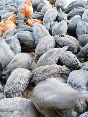 四川泸州古蔺县灰色珍珠鸡 2-4斤