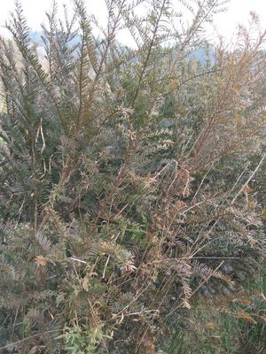 贵州黔东黎平县南方红豆杉 0.5~1米