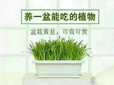 北京海淀区无公害黄韭盆景 头茬 20~30cm