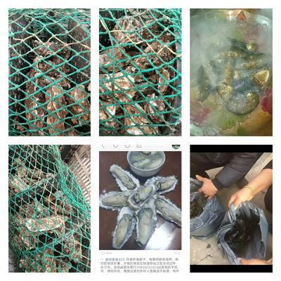 山东青岛黄岛区红岛海蛎子乳山牡蛎 野生 5-10只/公斤