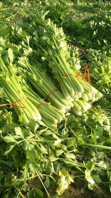 山东省济宁市金乡县美国西芹 60cm以上 大棚种植 0.5斤以下