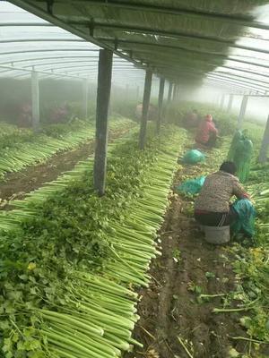 山东省济宁市金乡县玻璃脆芹菜 60cm以上 大棚种植 0.5斤以下