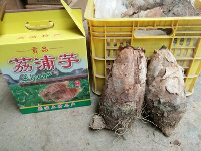 广西桂林荔浦县荔浦芋头 2cm以上