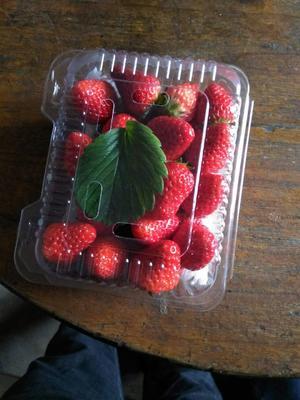 河北石家庄晋州市九九草莓 30克以上