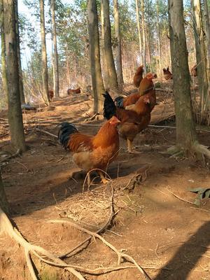 广西南宁青秀区阉鸡 统货 9~12月 4-5斤