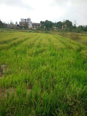 这是一张关于在生稻 绿色食品 晚稻 一等品的产品图片