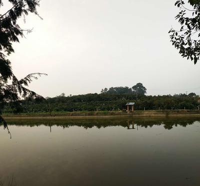 四川成都蒲江县耙耙柑 8cm以上 4两以上