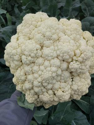 这是一张关于白面青梗松花菜 松散 2~3斤 乳白的产品图片