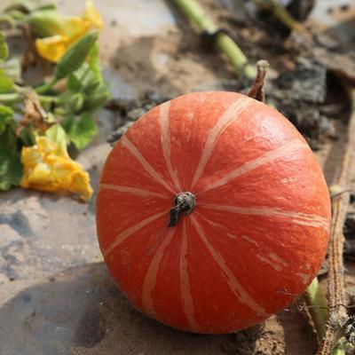 海南省儋州市儋州市黄金二号红南瓜 2~4斤 扁圆形