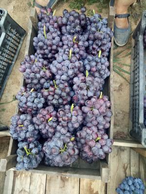 河北石家庄晋州市夏黑葡萄 5%以下 1次果 1.5- 2斤