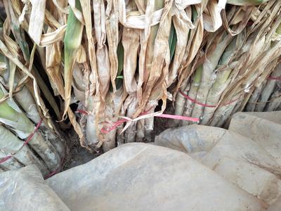 山东枣庄滕州市日本大葱 2cm左右 40cm以上 毛葱