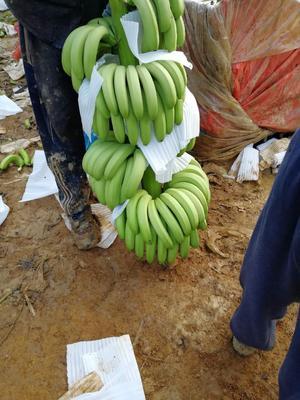 云南西双版纳景洪市威廉斯香蕉 七成熟 40 - 50斤