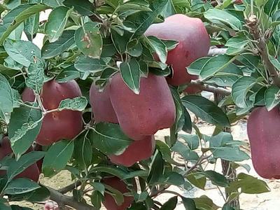 甘肃天水甘谷县花牛苹果 光果 全红 70mm以上