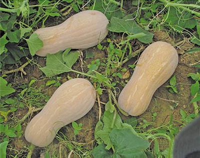 海南省儋州市儋州市金韩蜜本南瓜 6~10斤 长条形