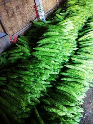 山东潍坊寿光市绿苦瓜 25cm以上 6~8两