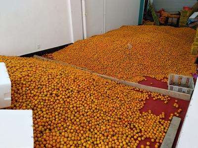 广西柳州融安县滑皮金桔 8cm以上 1-1.5两